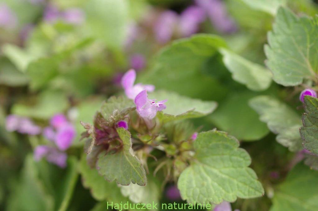 jasnota purpurowa-nalewka