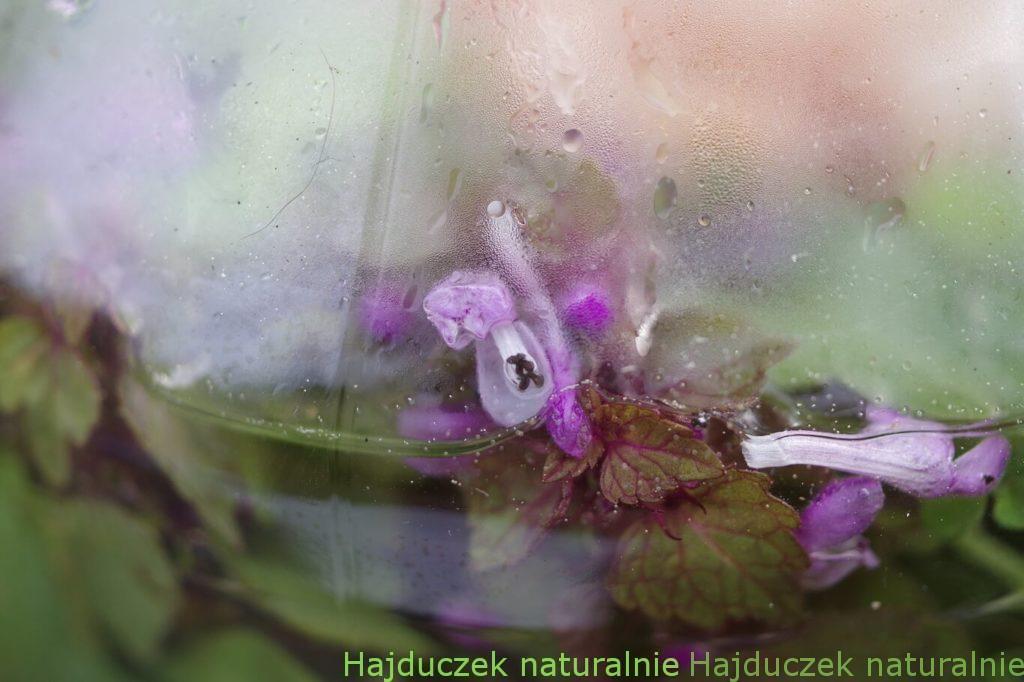 ocet z jasnoty purpurowej