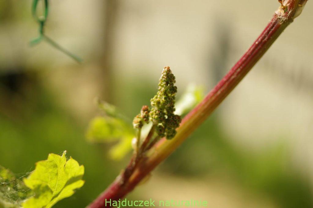 winnica i winobranie