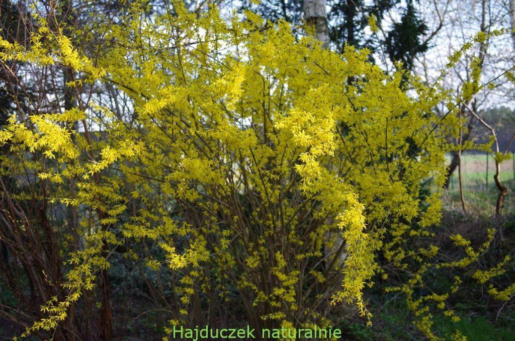 kwiaty forsycji