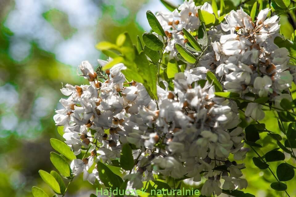 kwiaty akacji