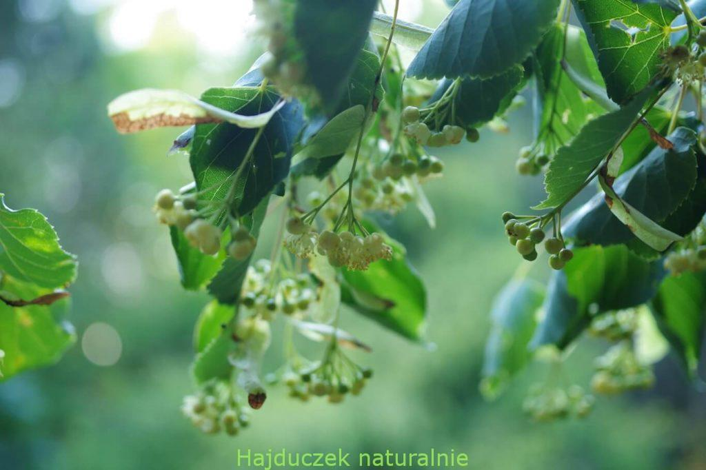 syrop z kwiatów lipy