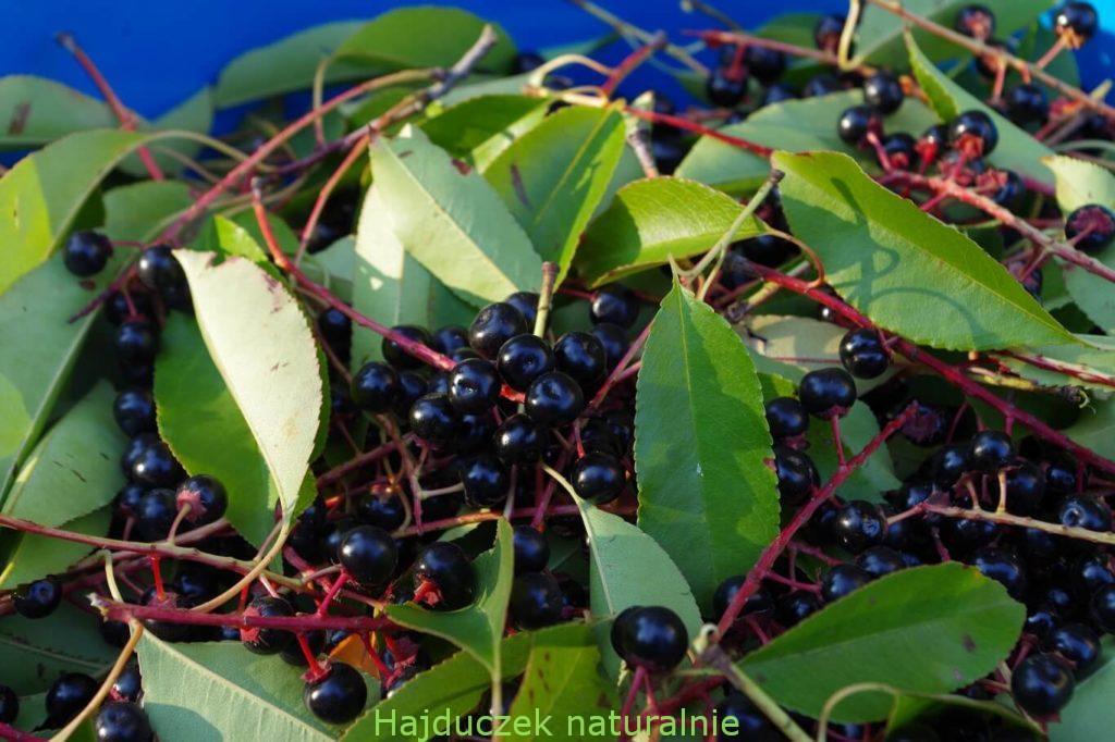 owoce czeremchy