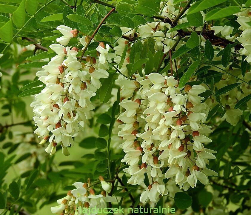 wino z kwiatów akacji