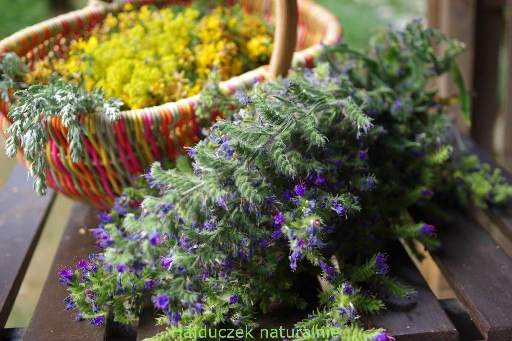 żmijowiec i inne lipcowe zioła