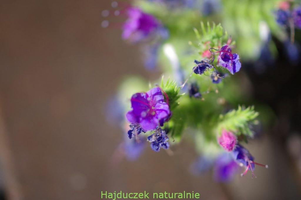 żmijowiec - kwiat