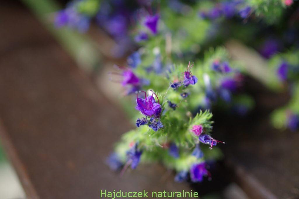 kwiat żmijowca